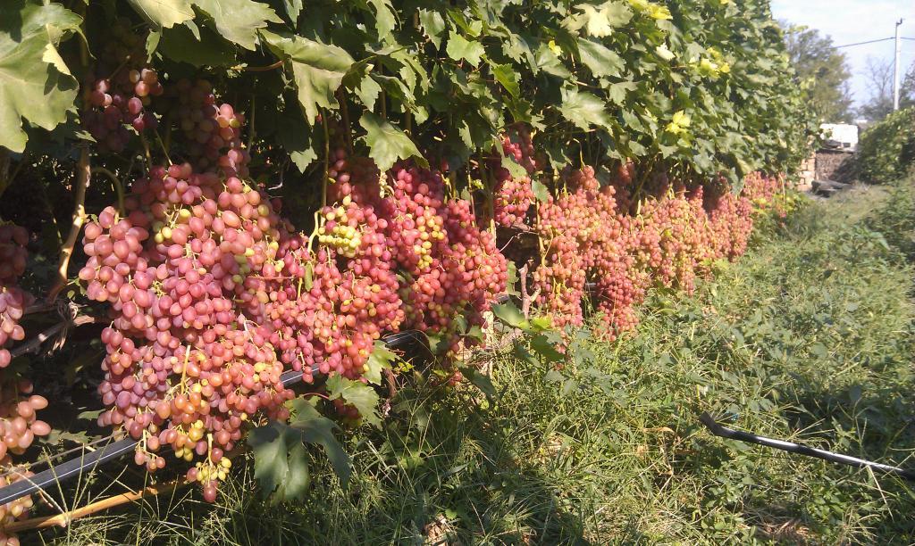 Урожайность Кишмиш лучистого