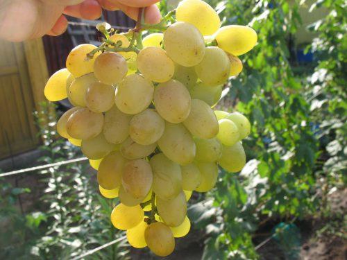 сорт восторг гроздь