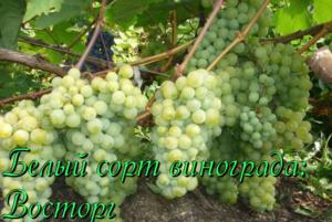 виноград сорта восторг