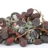 Гниль винограда