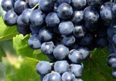 фото виноград лидия