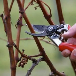 Обрезка-винограда-осенью