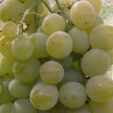 Виноград Светлана фото