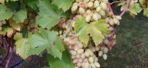 грозди сорта водограй
