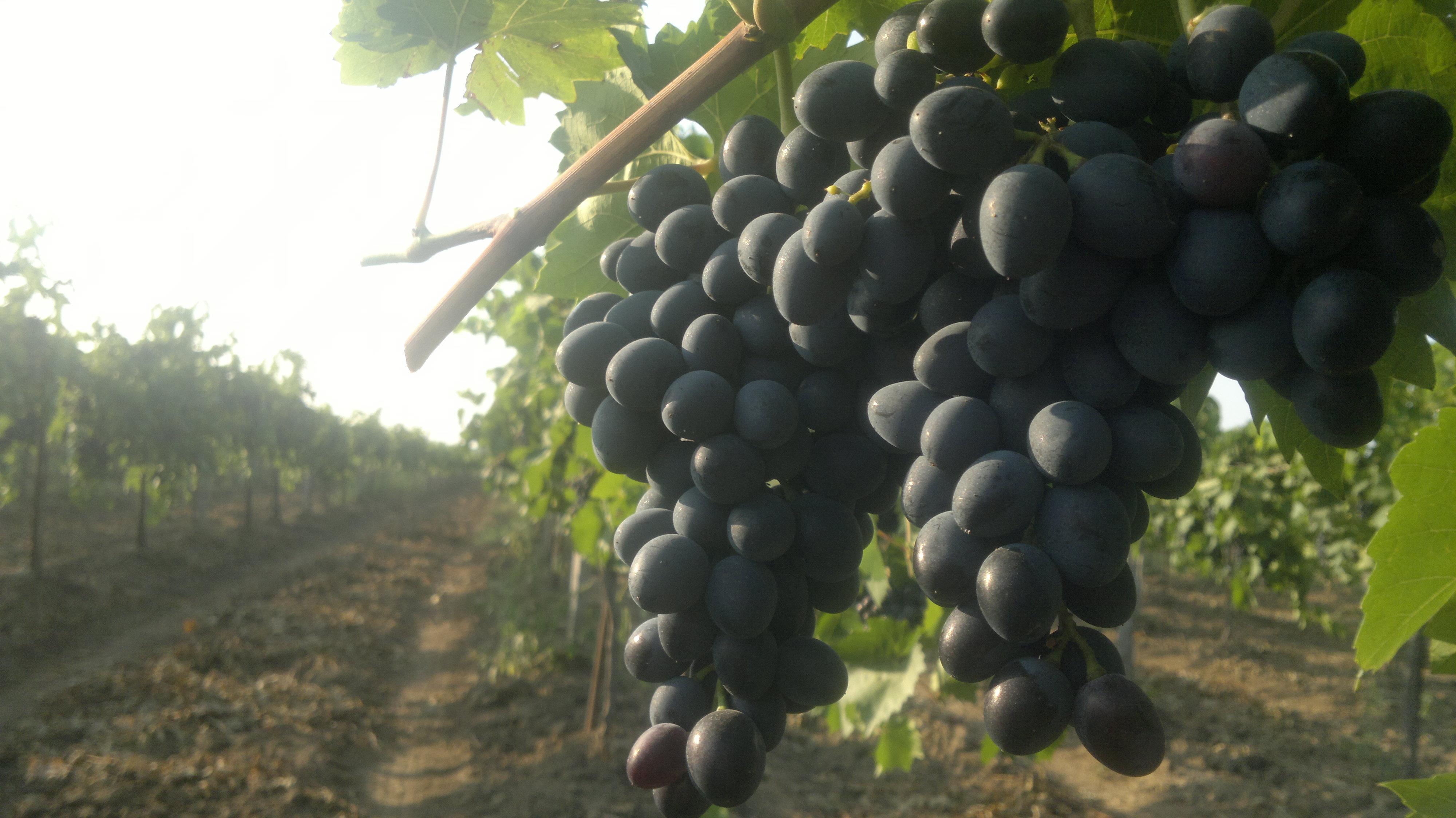 гроздь сорта молдова