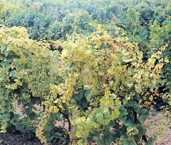 хлороз всего виноградника