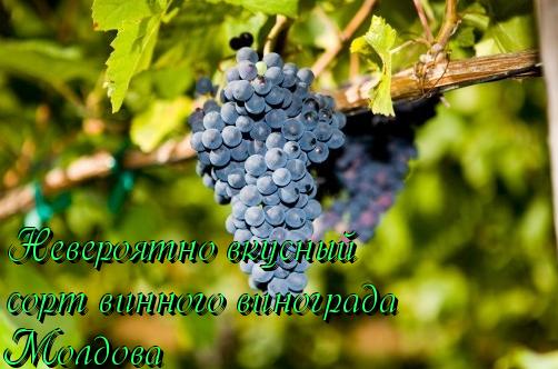 вкусный виноград молдова