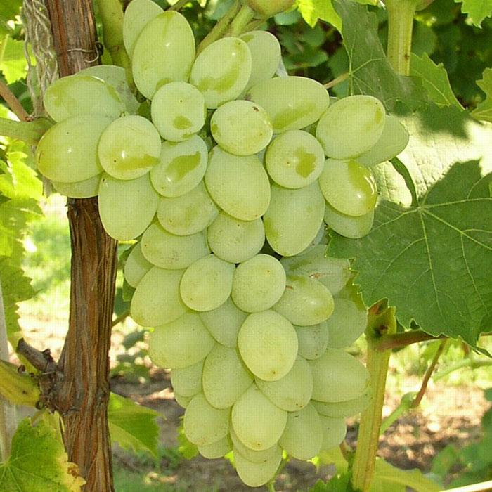 грозди винограда Светлана