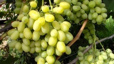 Выращивание винограда Светлана