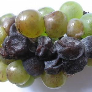 Гниль на винограде