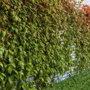 Рост девичьего винограда