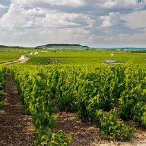 obrabotka-vinograda
