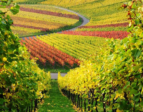 vinogradnye-plantacii