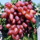 винограда Ризамат