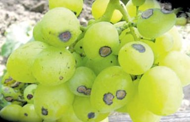 пораженные ягоды