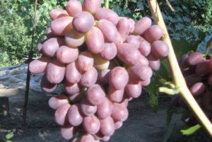 сорт винограда ризамат