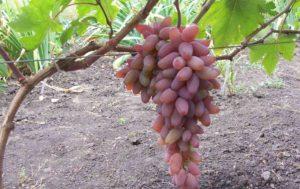 гроздь оригинала