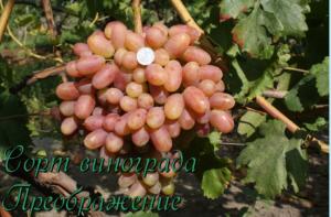 гроздь преображения