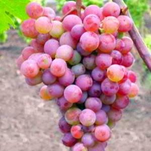 Отечественный виноградник