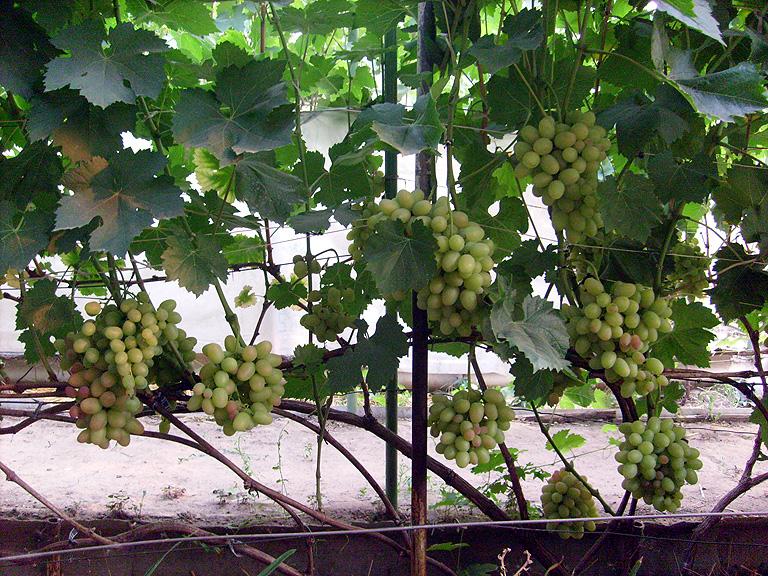 Виноград тасон  описание