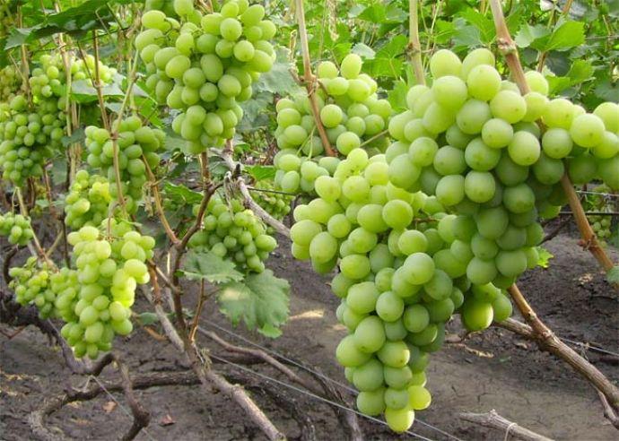 Виноград подарок другу описание сорта