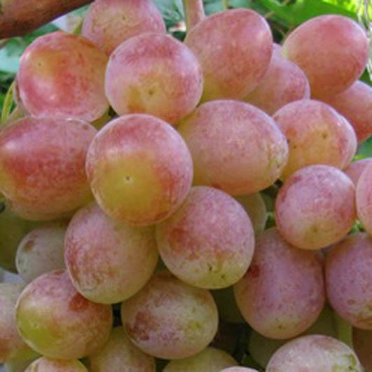 Ягоды винограда Памяти Хирурга