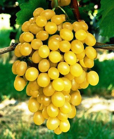 ягоды винограда Цитронный Магарач