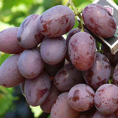 ягоды винограда Фавор