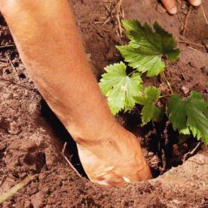 посадить виноградный куст