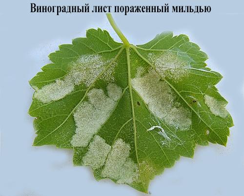 виноградный лист пораженный мильдью