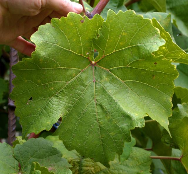 листья платовского