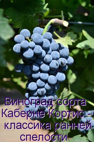 Виноград сорта Каберне Кортис - классика ранней спелости