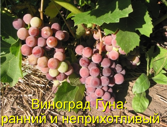 Виноград Гуна: ранний и неприхотливый