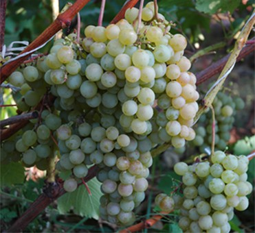 ягоды винограда дружба