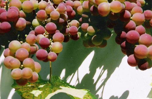 грозди винограда Гуна