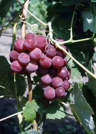 Кисть винограда Гуна