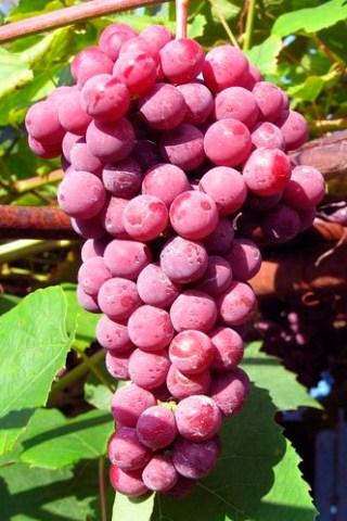 ягоды Гуна