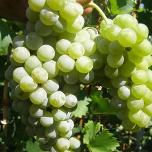 "характеристика винограда ""цветочный"""