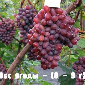 вес ягоды винограда Марадона