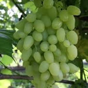 собенности винограда долгожданный