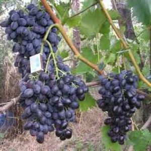 выращивание винограда кубань