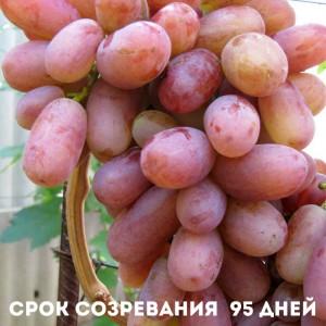 нюансы ухода винограда Юлиан