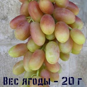 правильный уход за виноградом Юлиан