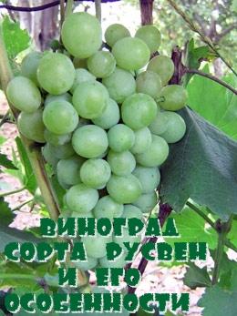 Виноград сорта Русвен и его особенности