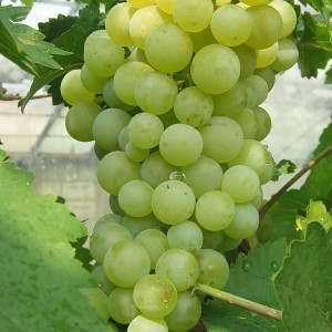 """описание винограда """"Цветочный"""""""