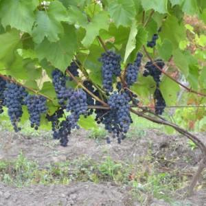 уход за виноградом саперави