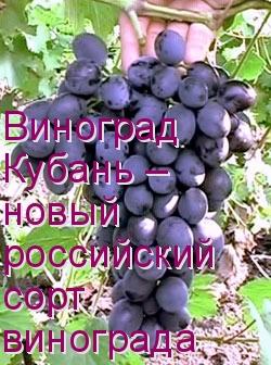 Виноград Кубань – новый российский сорт винограда