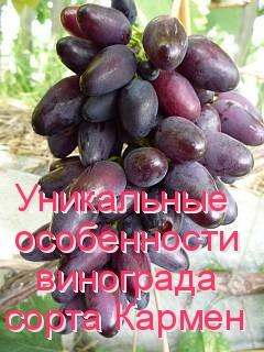 Уникальные особенности винограда сорта Кармен