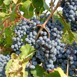 "виноград ""Агат"""