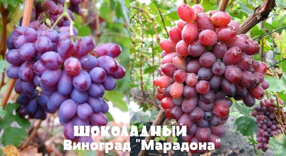 Шоколадный виноград Марадона